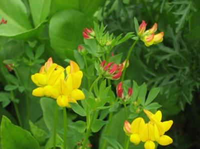 Les bienfaits des plantes sauvages